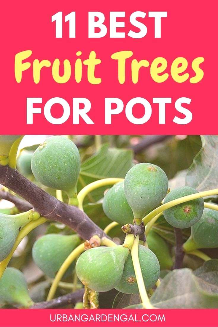 11 Best Fruit Trees For Pots Growing fruit trees in pots is a great way to grow your own fruit when