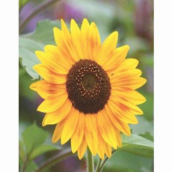 Buy Artland Poster or Canvas Print »Botany Flowers Sunflower Meadow Summer Photo« online OTTO -