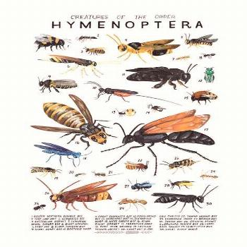 Creatures of the order Hymenoptera- vintage inspired science poster by Kelsey Os...,  Creatures of