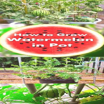 Learn how to grow watermelon in pots. Growing watermelon in containers allow this big, sweet and ju