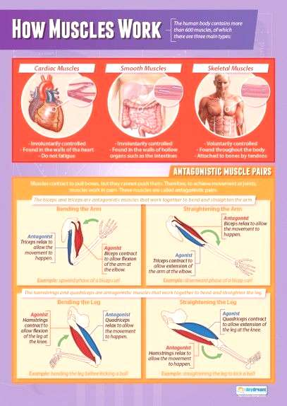 How Muscles Work Poster