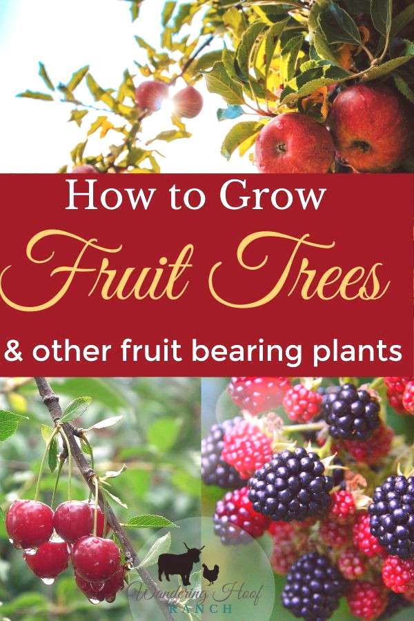 How to grow fruit trees for beginners. - Wandering Hoof Ranch Our beginners guide to planting fruit