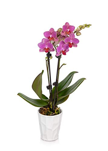 Just Add Ice Pink 3quot Orchid in White Pot - Live Indoor Plant